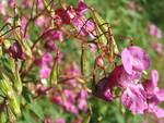 18 Blüte und Samenstand des Springkrauts