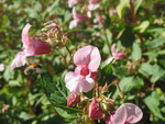 01 Blüten des Springkrauts