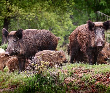 Jagd Wildschweine