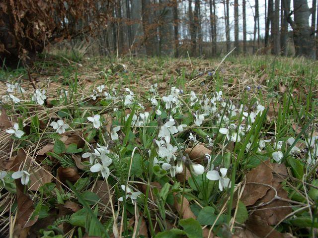 Weißes Veilchen (Viola alba)