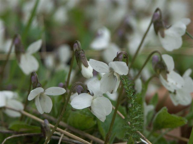 Viola Alba (Weißes Veilchen)