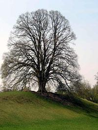 Naturdenkmal Linde